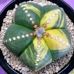2013-08-18-inter-city-show-sale-la-arboretum-094-astrophytum-myriostigma-2