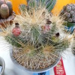 2013-08-18-inter-city-show-sale-la-arboretum-242-echinocereus-stramineus-2