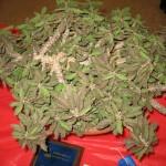best-succulent-novice-robert-kopfstein-euphorbia-decaryi